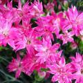 【稲取生まれ】 花言葉は「母への愛情」